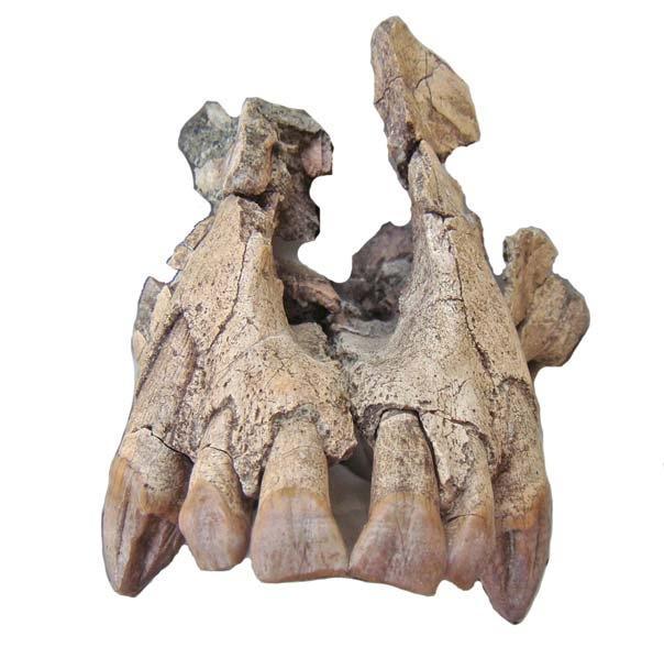 l'<i>ugandapithecus major</i>