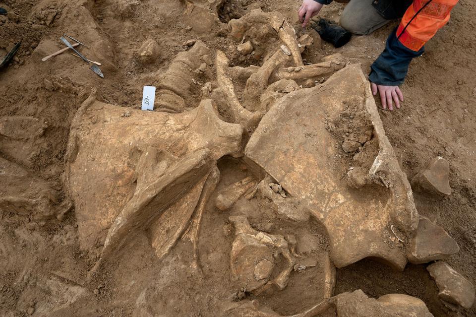 <i>Mammuthus primigenius</i>