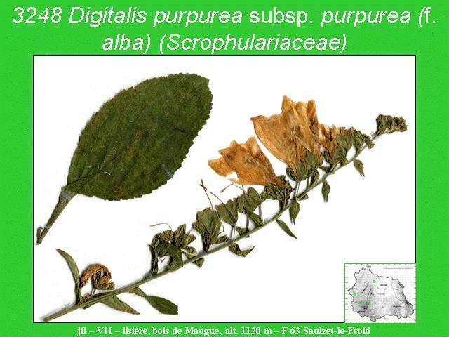 Digitalis purpurea subsp. purpurea (f. alba) (Scrophulariaceae) 3248