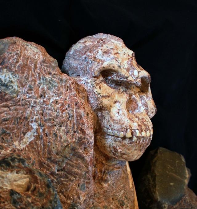 Little foot, le plus complet des australopithèques, est-il l'ancêtre de l'Homme ?