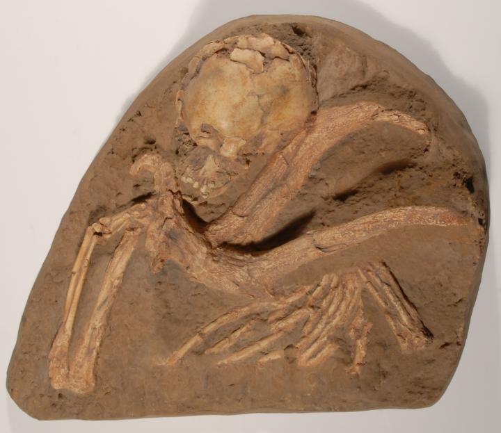 Moulage de la sépulture de l'enfant Q11, découverte dans la grotte de Qafzeh, en Israël, en 1969