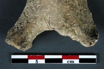 Une opération chirurgicale il y a 7000 ans : la plus ancienne amputation découverte en France