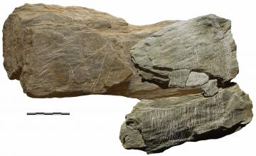 Photo et relevé effectués après remontage de 4 plaquettes de schiste gravées, les faisceaux d'incisions évoquent une figure de mammouth où la trompe, les défenses et la toison sont évoquées soigneusement.