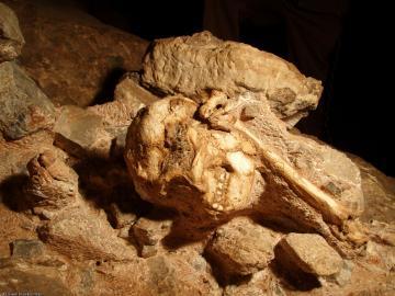 Fossile de Little Foot, grotte de Silberberg à Sterkfontein (Afrique du Sud). Peut-être poursuivi par un prédateur, cet australopithèque a fait une chute fatale de plus de vingt mètres, son corps roulant sur un talus d'éboulis, avant de s'immobiliser, un