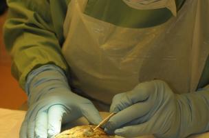 Un médecin légiste nettoie un sac de toile contenant un cœur ayant appartenu au mari de Louise de Quengo, dont le corps a été découvert dans le couvent des Jacobine (Ile-et-Vilaine), 2015.  Le cœur sera ensuite radiographié par l'institut médico-légal du