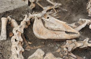 Crâne de jument avec vertèbres en connexion anatomique stricte, Bar-sur-Aube (Aube), 2013.Les chevaux enterrés dans la tranchée ont une forte corpulence, ce sont des animaux de trait, déposés avec soin dans cette fosse improvisée.