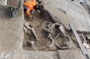 Intervention d'un archéozoologue sur un enchevêtrement de carcasses, Bar-sur-Aube (Aube), 2013.Sur la quarantaine de carcasses de chevaux repérées lors de la fouille, douze ont été finement fouillées.
