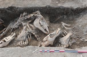 Disposition générale des crânes, proches de la paroi de la fosse, Bar-sur-Aube (Aube), 2013.Cette disposition régulière dénote toute l'attention portée à ces chevaux au moment de leur enfouissement.