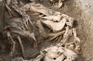 Alignement caractéristique des carcasses dans chaque section de tranchée, Bar-sur-Aube (Aube), 2013.Tous les chevaux ont été inhumés dans un laps de temps très court, et certains portent encore leurs fers.