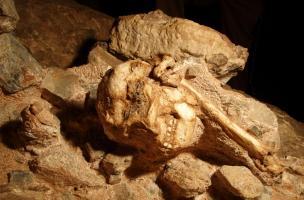 Fossile de Little Foot, grotte de Silberberg à Sterkfontein (Afrique du Sud).Peut-être poursuivi par un prédateur, cet australopithèque a fait une chute fatale de plus de vingt mètres, son corps roulant sur un talus d'éboulis, avant de s'immobiliser, un
