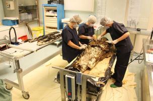 Étude d'un corps exceptionnellement bien conservé découvert dans un cercueil de plomb mis au jour au couvent des Jacobins, à Rennes (Ille-et-Vilaine), 2015.  L'étude à lieu à l'Institut médico-légal du CHU de Rangueil à Toulouse où il est d'abord déshabil
