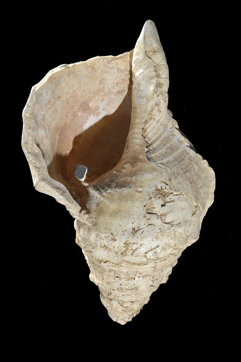 Grand coquillage de l'espèce Charonia lampas (triton à bosses), auquel ses découvreurs, en 1931, n'avaient pas particulièrement prêté attention, dans la grotte de Marsoulas.